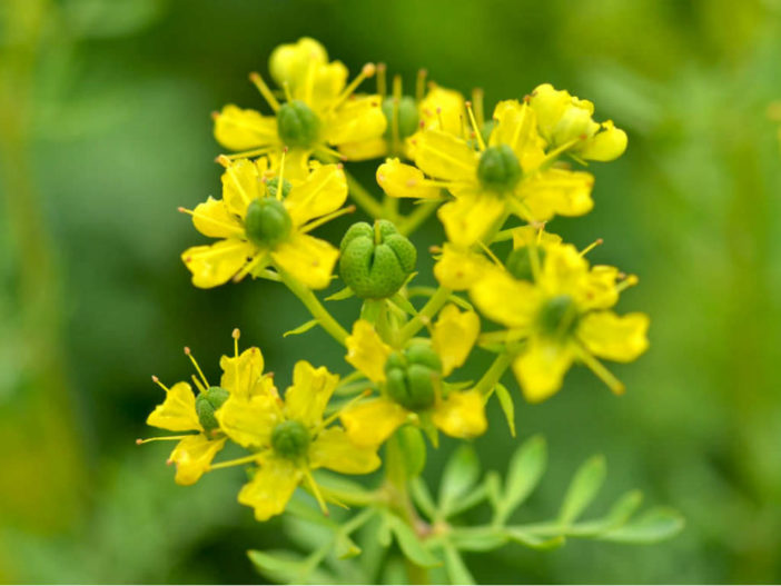 Herbs That Blossom Into Stunning Flowers (Ruta graveolens)