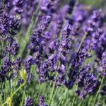 Lavandula angustifolia 'Hidcote' (English Lavender)