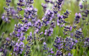 Lavandula angustifolia 'Munstead' (English Lavender)