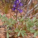 Lupinus flavoculatus (Yelloweyes)