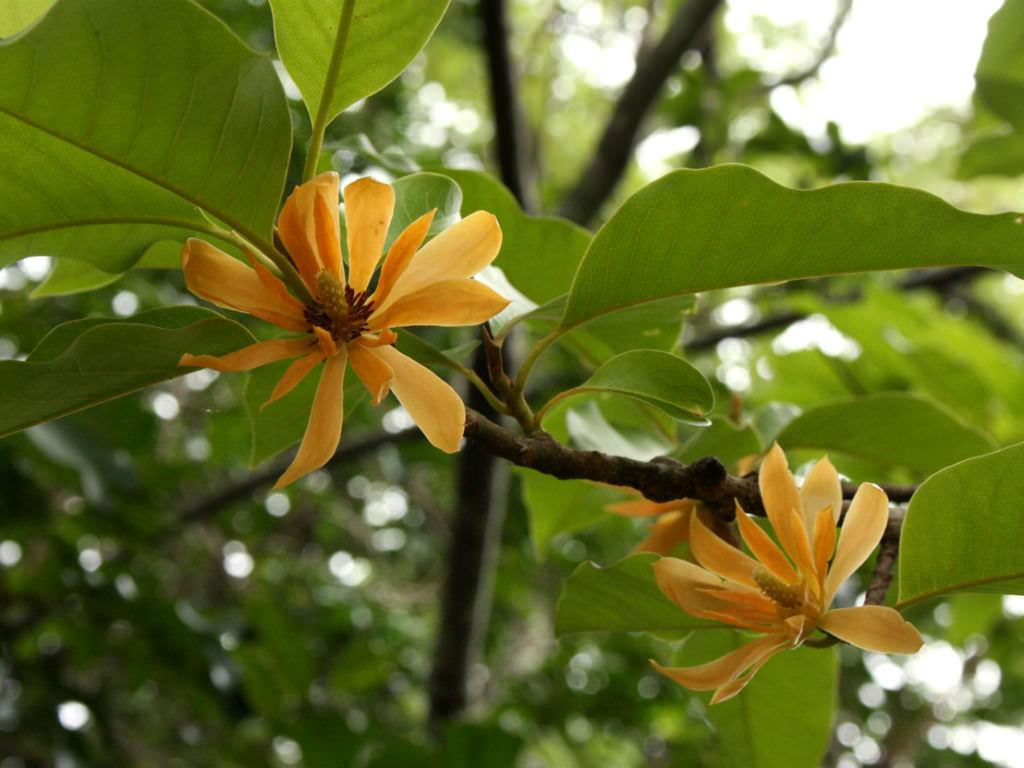 Magnolia Champaca Champak World Of Flowering Plants