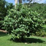 Magnolia delavayi (Delavay's Magnolia)
