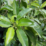 Magnolia x alba (White Champaca)
