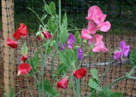 How to Grow and Care for Sweet Peas