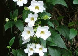 Thunbergia grandiflora 'Alba' (White Sky Vine)