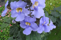Thunbergia grandiflora (Blue Sky Flower)