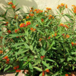 Asclepias curassavica (Tropical Milkweed)