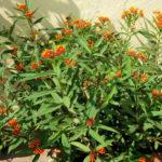 Asclepias curassavica (Tropical Milkweed)