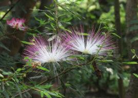 Calliandra brevipes (Pink Powderpuff)