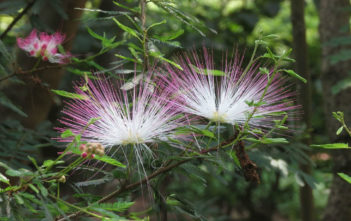 Calliandra brevipes (Pink Powderpuff)