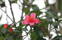 Camellia hongkongensis (Hong Kong Camellia)