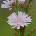 Cichorium intybus 'Roseum' (Pink Chicory)