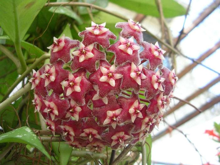Hoya pubicalyx (Wax Plant)