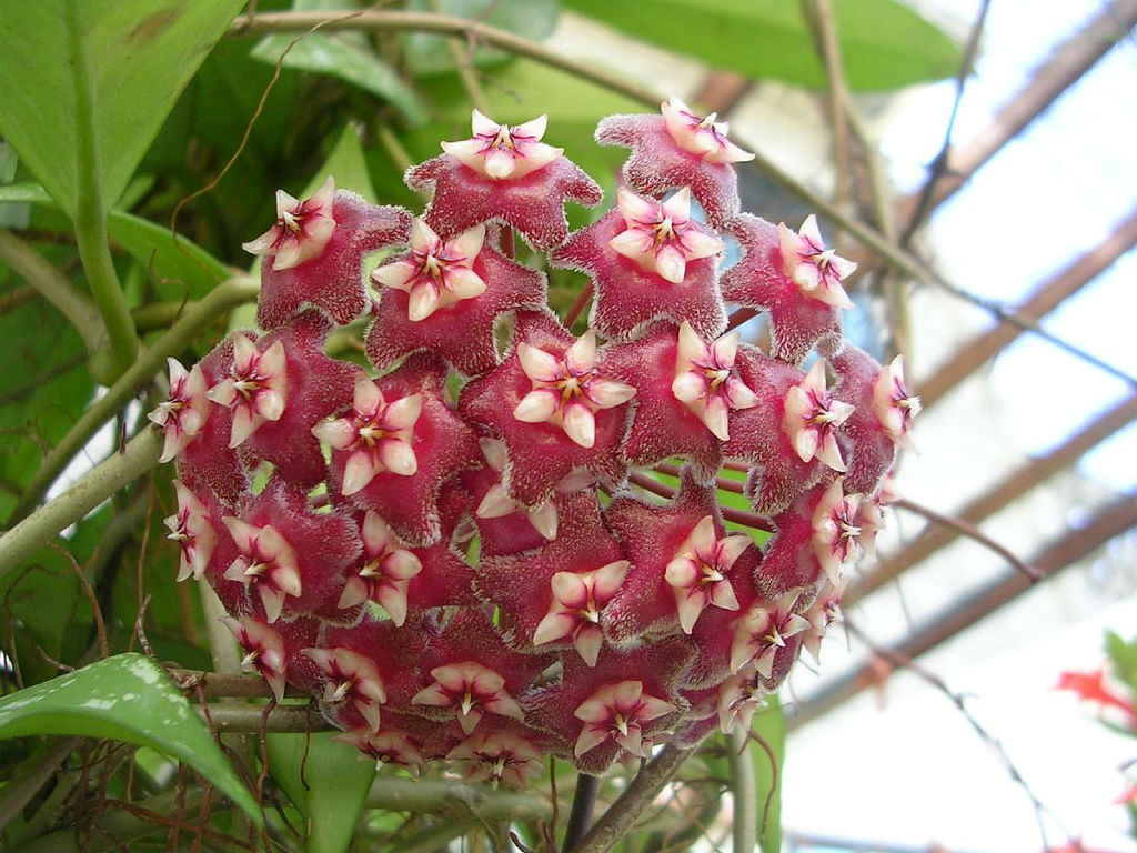 Hoya Pubicalyx Wax Plant World Of Flowering Plants