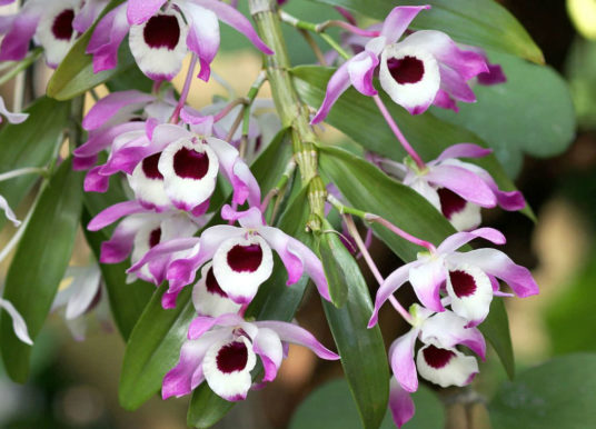 How to Grow Noble Dendrobium Orchids from Cuttings