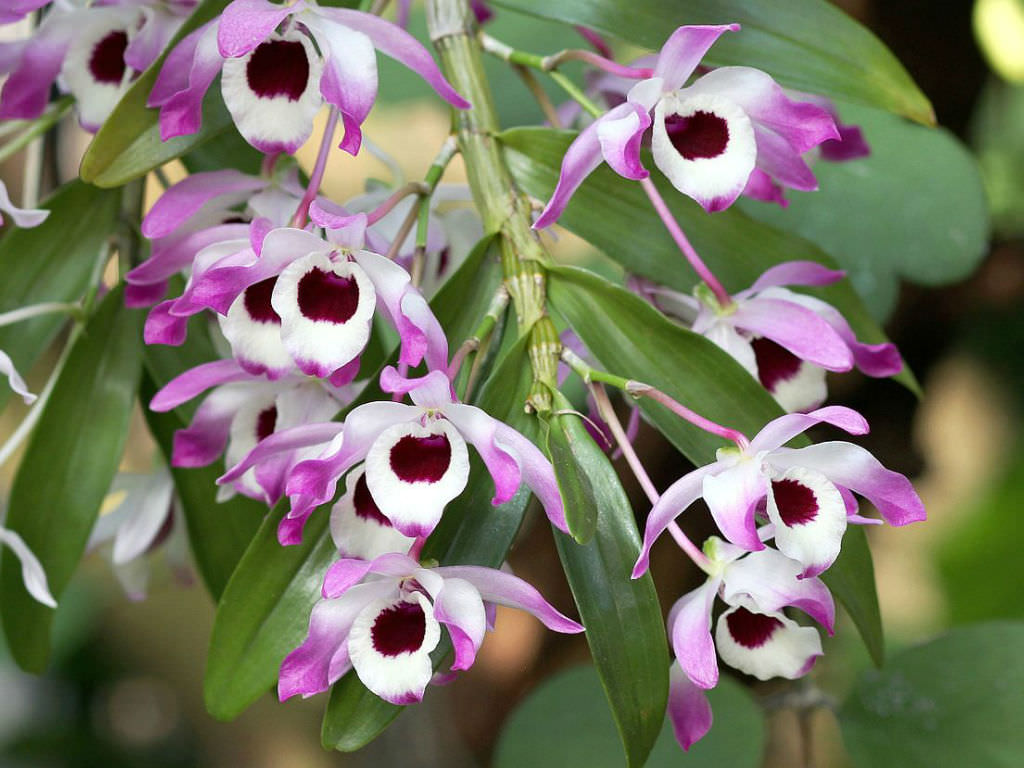 Dendrobium is a noble. Home care for an orchid