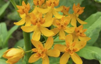 Asclepias curassavica 'Silky Gold' (Golden Butterflyweed)