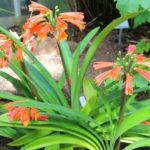 Clivia robusta (Swamp Clivia)