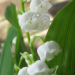 Convallaria montana (American Lily of the Valley)