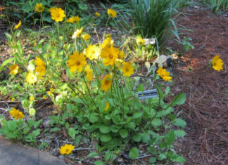 Coreopsis auriculata (Lobed Tickseed)
