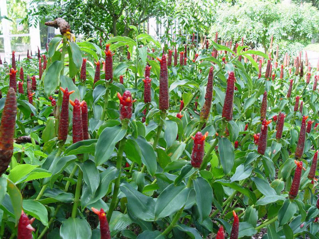 Costus spicatus (Spiked Spiralflag Ginger) | World of Flowering Plants