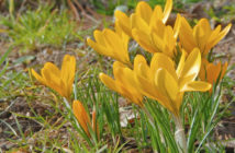 Crocus flavus (Yellow Crocus)