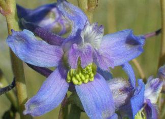 Delphinium andersonii (Anderson's Larkspur)