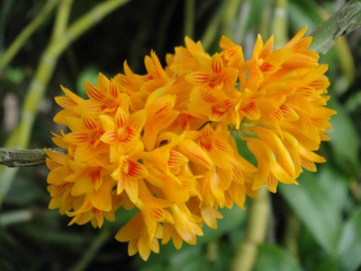 Dendrobium bullenianum (Bullen's Dendrobium)