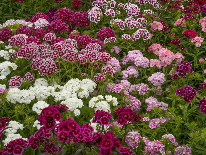 Remove Dead Blooms from Dianthus