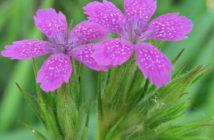 Dianthus armeria (Deptford Pink)
