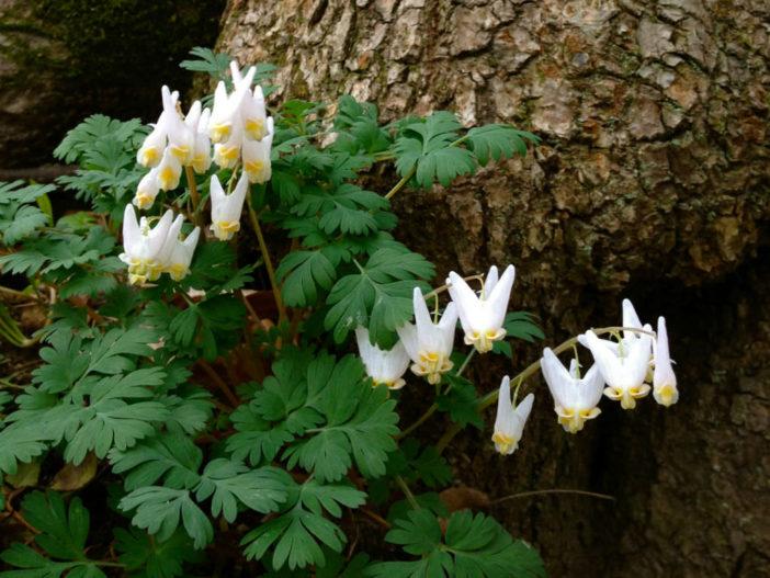 Dicentra cucullaria (Dutchman's Breeches)