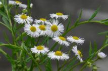 Erigeron annuus (Annual Fleabane)