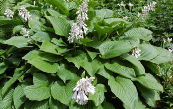 Hosta sieboldiana (Plantain Lily)