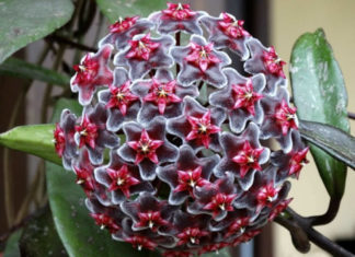 Hoya pubicalyx 'Royal Hawaiian Purple'