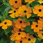 Thunbergia alata (Black-eyed Susan Vine)
