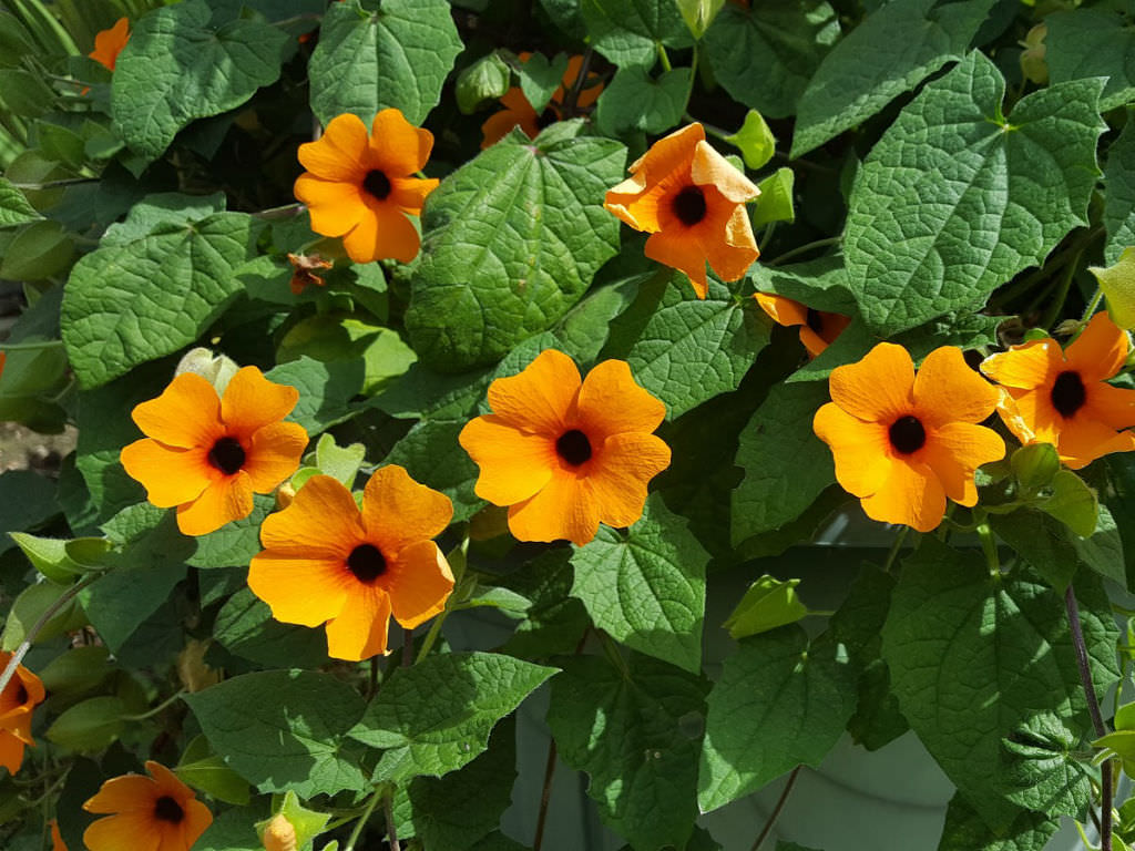 Thunbergia alata (Black-eyed Susan Vine) | World of Flowering Plants