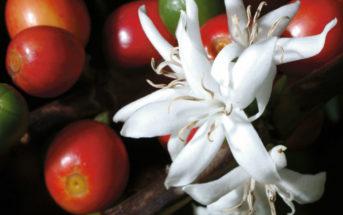 Coffea arabica (Arabian Coffee)