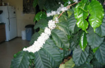 Coffee Plants at Home