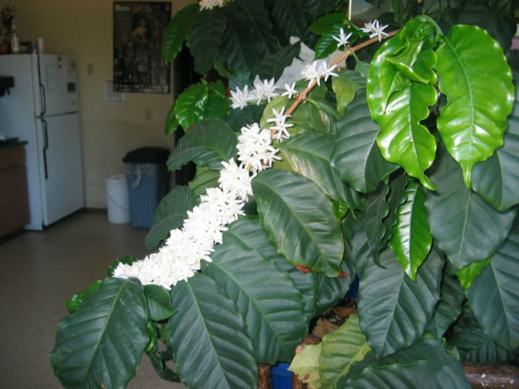 Providing Tree And Plant Care: How To Grow And Care For Coffee Plants At Home