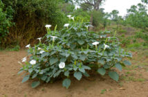 Datura innoxia (Downy Thorn Apple)