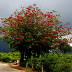Erythrina variegata (Indian Coral Tree)