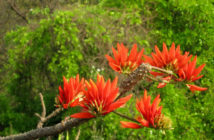 Erythrina variegata (Indian Coral Tree)