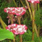 Etlingera venusta (Malay Rose)