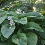 Hosta sieboldiana var. montana (Plantain Lily)