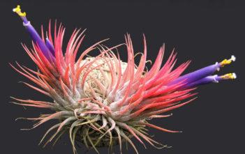Tillandsia ionantha (Sky Plant)