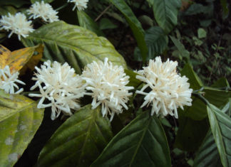 Coffea canephora (Robusta Coffee)