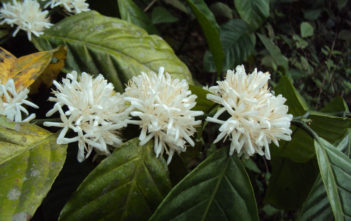 Coffea canephora (Robusta Coffee)