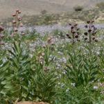 Fritillaria persica (Persian Lily)