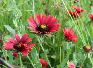 Gaillardia amblyodon (Maroon Blanketflower)