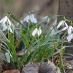 Galanthus plicatus (Pleated Snowdrop)